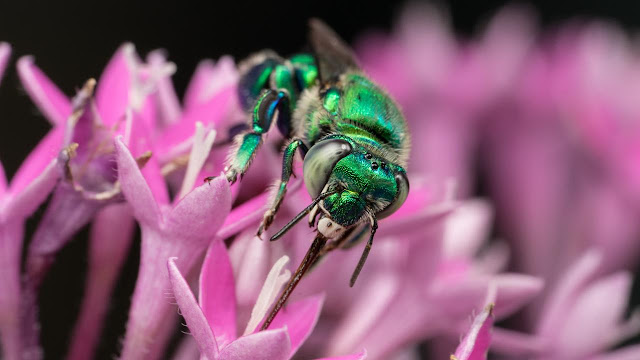 A single gene for scent reception separates two species of orchid bees