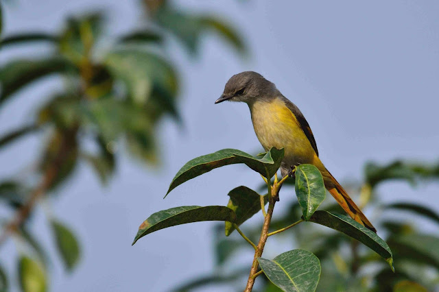 Small Minivet Birds of samshernagar sundarban tourism