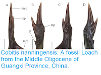 http://sciencythoughts.blogspot.co.uk/2016/03/cobitis-nanningensis-fossil-loach-from.html