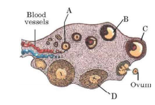 Study the transverse section of human ovary given below and answer the questions that follow