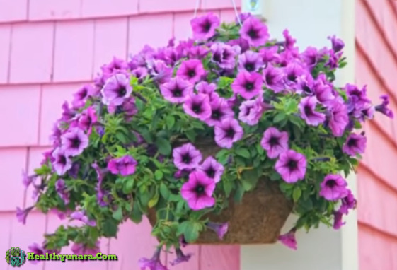Petunia flowe for hanging flower ornamental