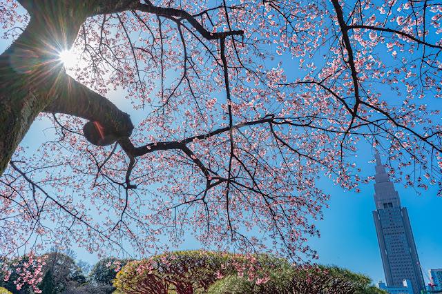 新宿御苑,NTTビル,河津桜