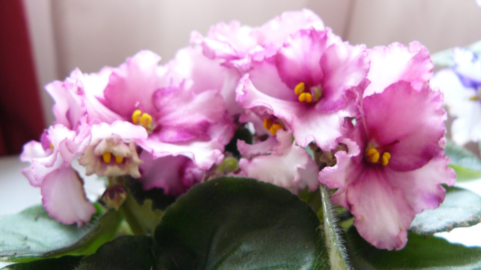 Learning About African Violets