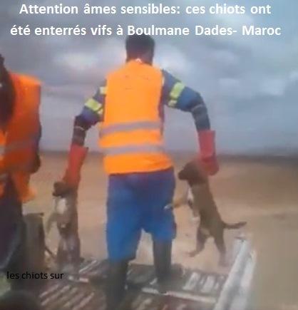 Maroc/Covid19 (vidéo choc)-  des chiennes allaitantes tuées avec sang-froid et des chiots enterrés vifs…. Mohamed Kacha, président du Conseil communal de Boumalne Dades aurait-il une réponse?!