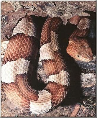 Copperhead Snake Habitat and Reproduction ~ planetanimalzone