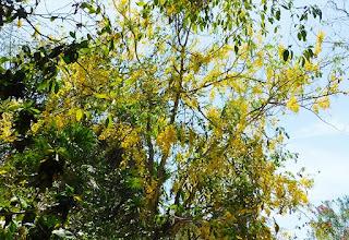 #payabay, #payabayresort, paya bay resort, flora, june flowers, beach party, tropical flowers, cañafistula, Cassia fistula