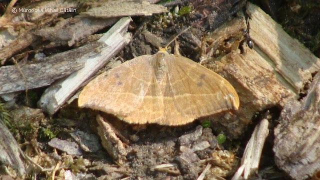 Watsonalla uncinula (male) DSC171490
