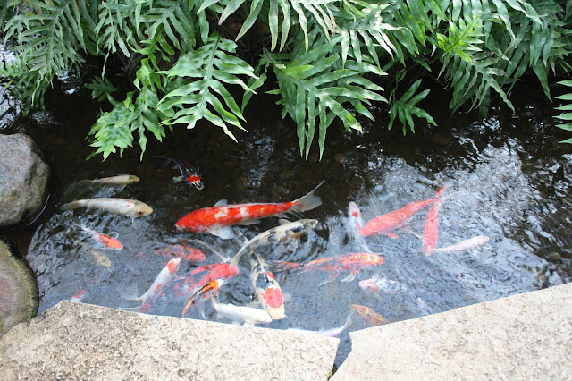Lots of fun at the koi pond at Nicholas Conservatory and Gardens in Rockford, Illinois