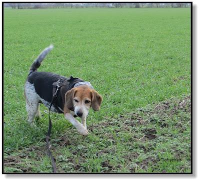 Beagle unterwegs
