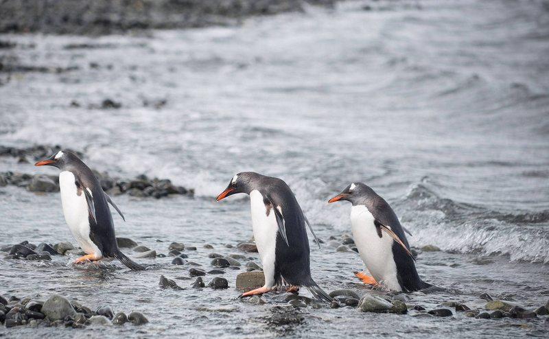 los pingüinos no  son originarios de la Antártica