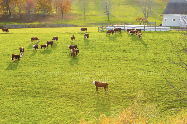 """2020 _Foliage_8177 """"Grazing In The Grass"""""""