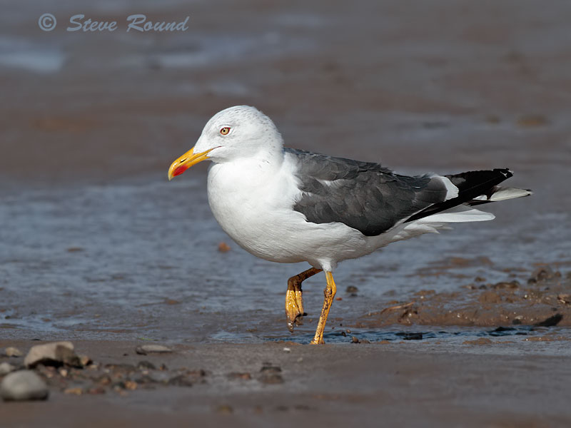 Lesser Black-backed Gull, seagull, bird,