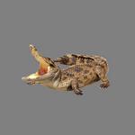 crocodile in spanish
