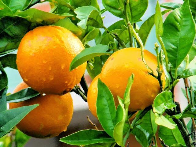 manfaat jeruk, manfaat buah jeruk, manfaat jeruk bagi tubuh