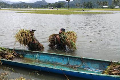 Padi Masyarakat Terendam Banjir, Ini Yang Dilakukan Banbinsa Koramil 1628-01/Taliwang