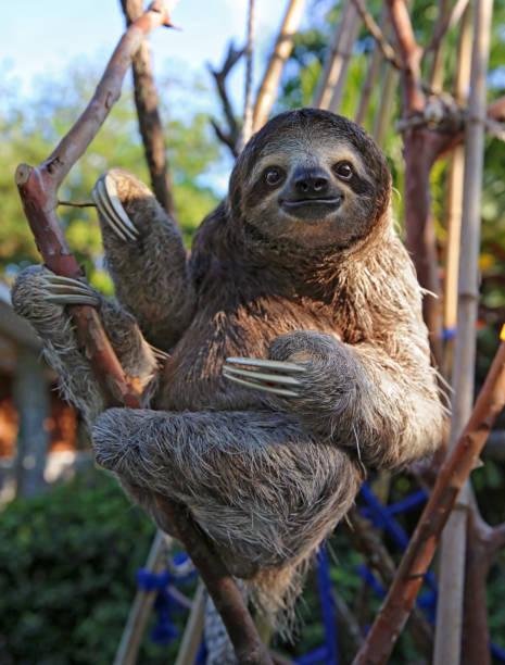 sloth dari amerika selatan -catatanadi.com