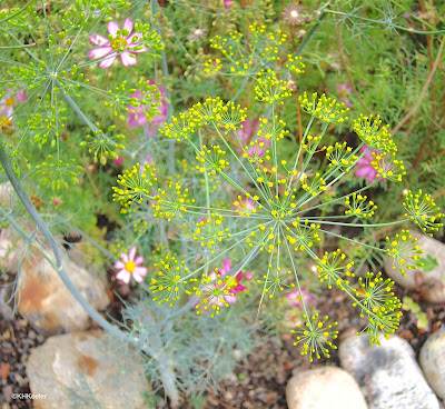 dill, Anethum graveolens