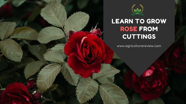 how to grow rose from cuttings
