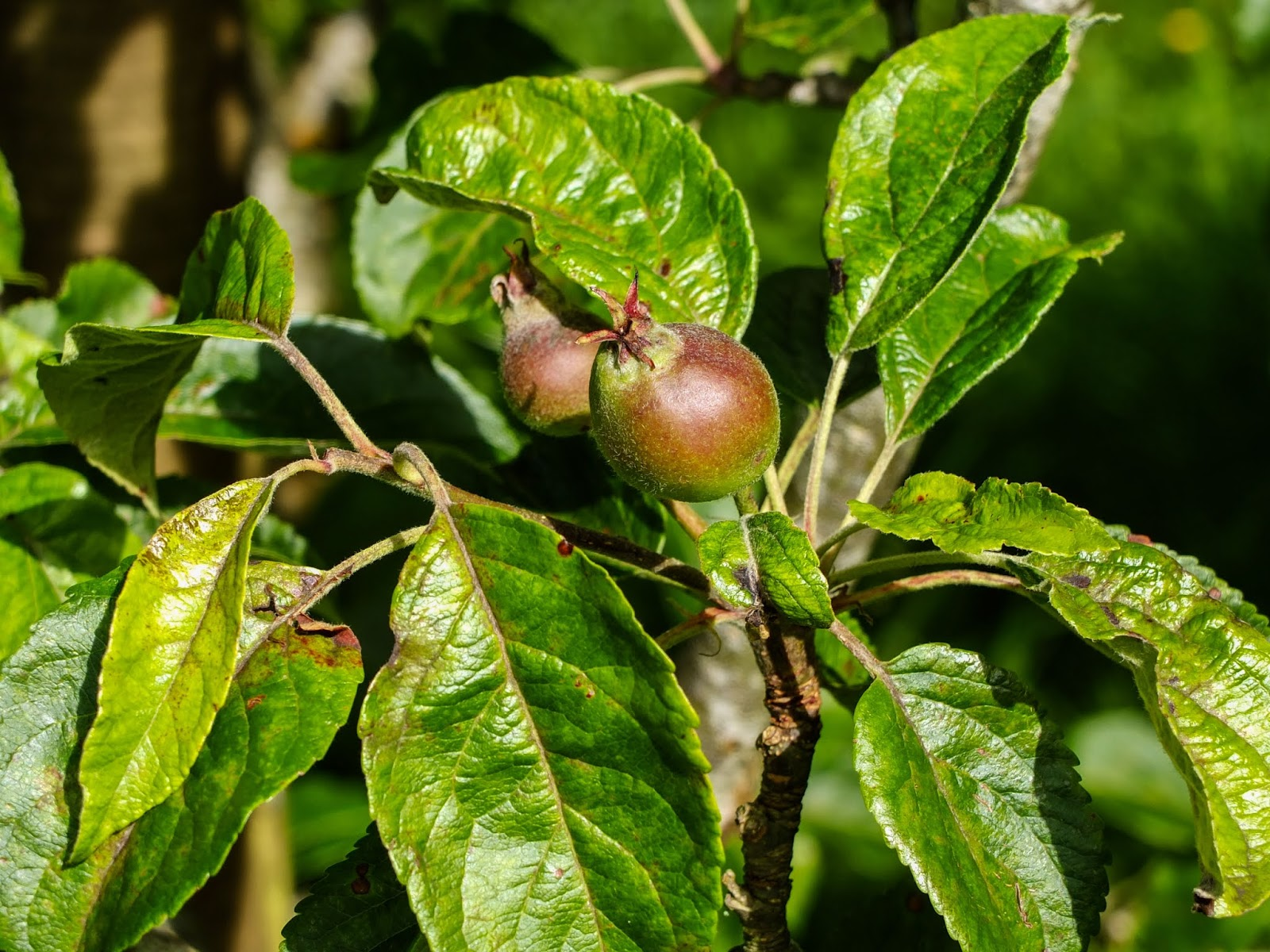 A couple of apples growing on a branch.