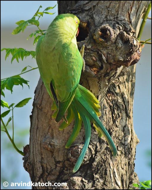 Nest, rose-ringed parakeet,