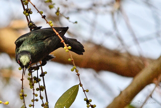 Asian Glossy Starling -  birding activity majlis daerah hulu selangor