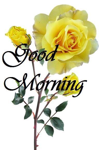 Good Morning Yellow Roses HD Image