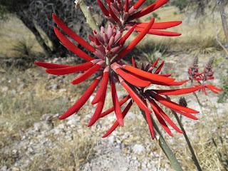Erythrina flabelliformis, Coralbean