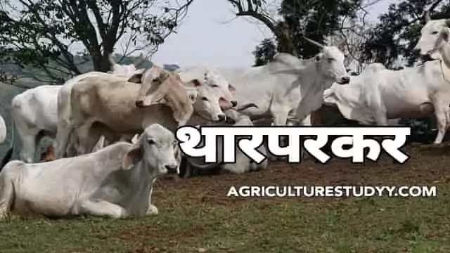 थारपारकर नस्ल की गाय के बारे में पूरी जानकारी
