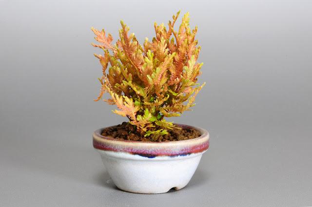 コガネシダS-2(黄金羊歯盆栽)Woodsia macrochlaena bonsai