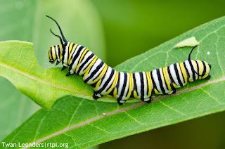 monarch caterpillar ulat tercantik di dunia