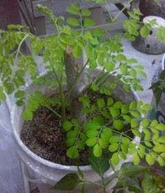 Moringa, a plant with a variety of benefits