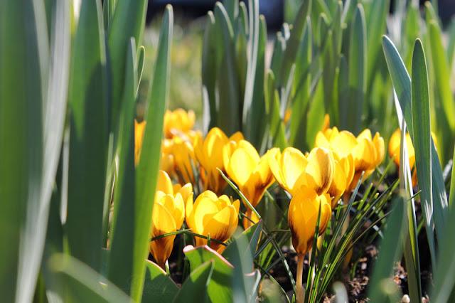 Eine größere Ansammlung von gelben Krokussen.
