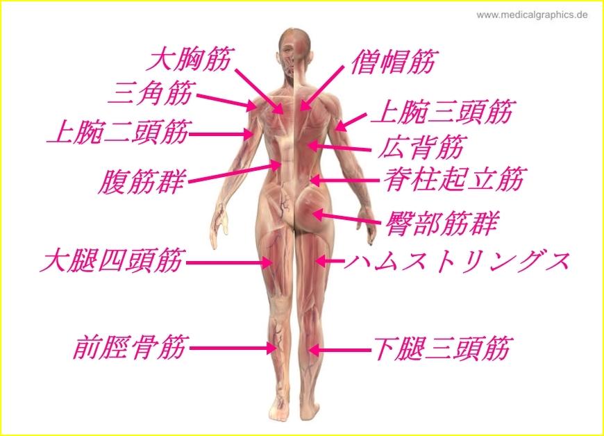 名前 背中 筋肉 【背中のほぐし方】背中(脊柱起立筋)をほぐすポイントは、首にあり!?