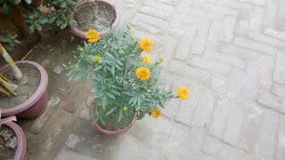 marigold flower 2106