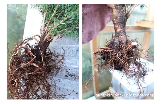 Picea abies Norway Spruce before after initial root pruning