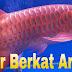 Arwana Super Red | Sumber Berkat Arowana | 08999957999