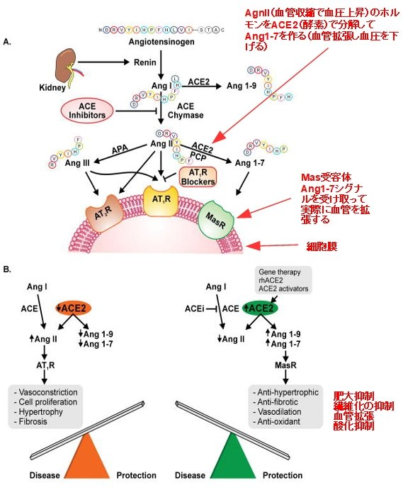 Fig.1 抜粋: The enzymatic cascade of the RAS, key receptor systems, and the biological effects mediated by Ang II and Ang 1–7 by  PMID: 27081112