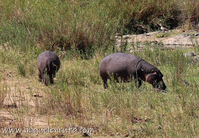Hipopotamos-Lower-Sabie-Kruger