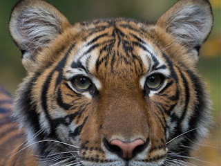 Covid-19:Tiger at Bronx Zoo Tests Positive for Coronavirus