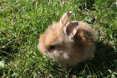 Kelinci kecil