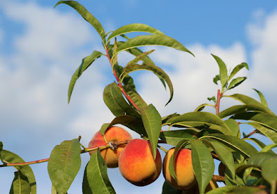 How to grow a peach tree from a bare root tree