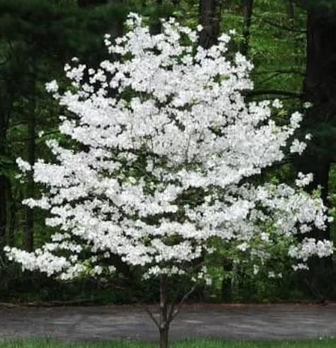 Cherokee Princess Dogwood Growth Rate, Care, Problems