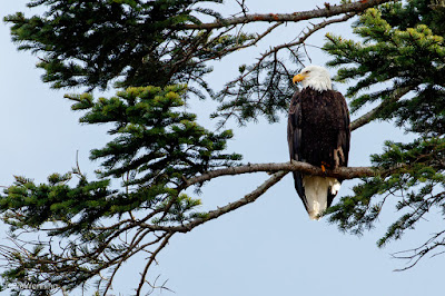 Bald Eagle, Deception Pass State Park