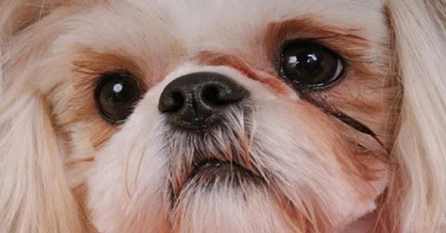 Excesso de remela nos olhos do seu Shih Tzu? Saiba o que pode ser