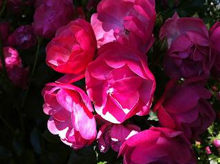 tolle gartentipps wie gie e ich meine rosen richtig wie oft wie viel wann. Black Bedroom Furniture Sets. Home Design Ideas