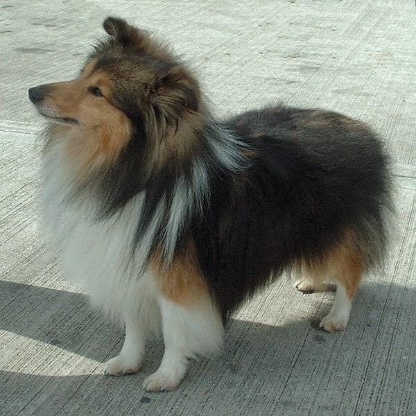 Cute Shetland Sheepdog