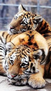 Tigers Mobile HD Wallpaper