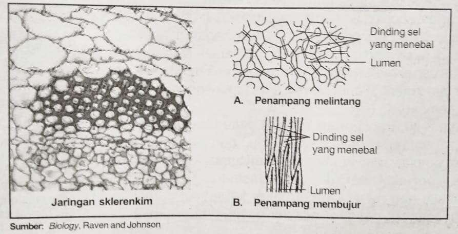 Penampakan struktur jaringan sklerenkim