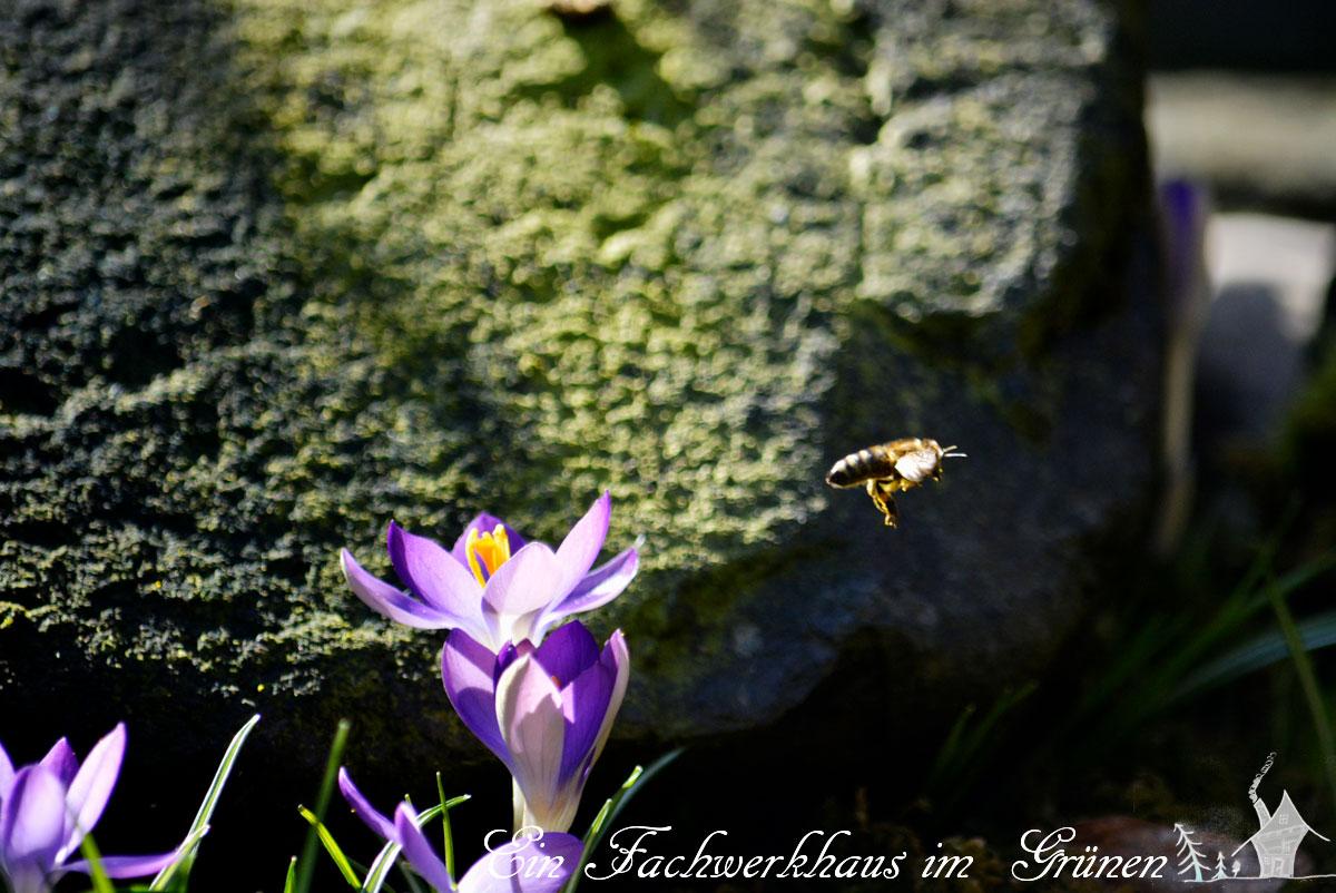 Gartenglück, Bienen, Gartenblog, Krokus