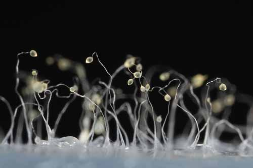 protista mirip jamur: Acrasiomycetes Dictyostelium discoideum